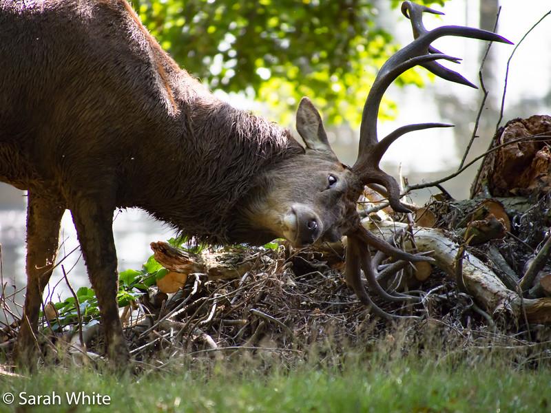 Deer rut_260915_698.jpg