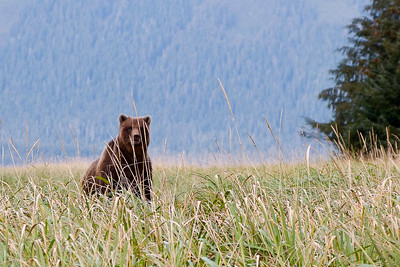 Brown Bear near Kadashan River October 2014, Cynthia Meyer, Chichagof Island, Alaska