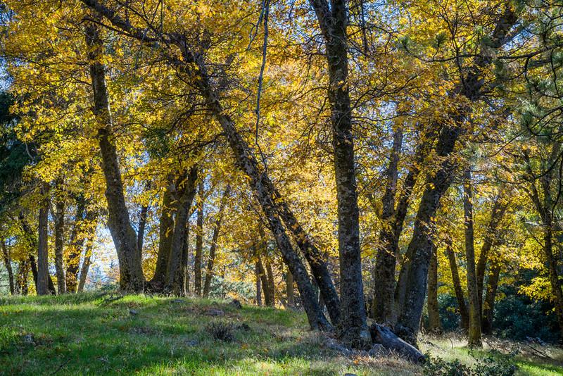 San_Bernardino_Mountains_Fall_Color_Trees_DSC3367.jpg