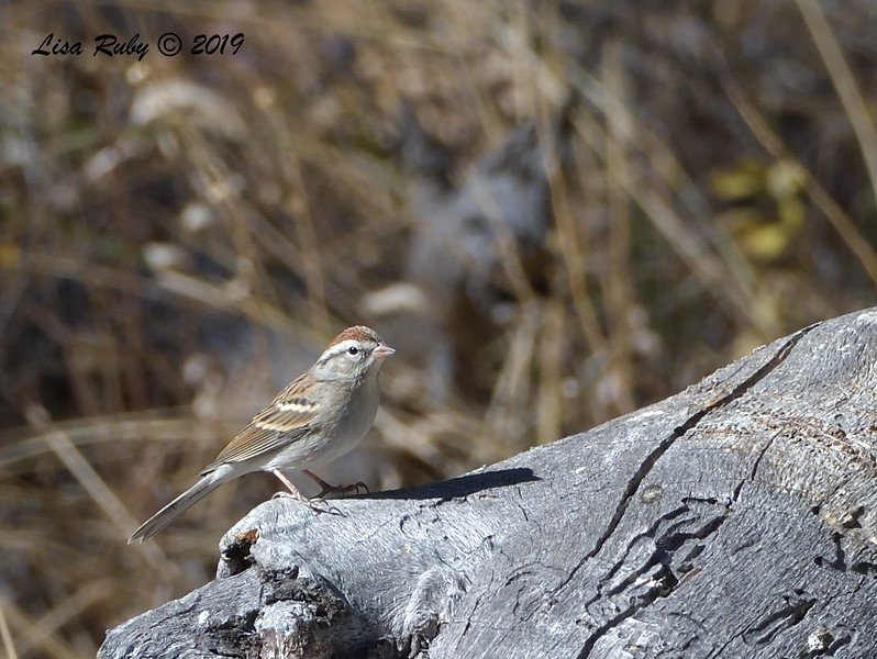 Chipping Sparrow 11/16/2019 - Mt Laguna, Water Trough West Meadow