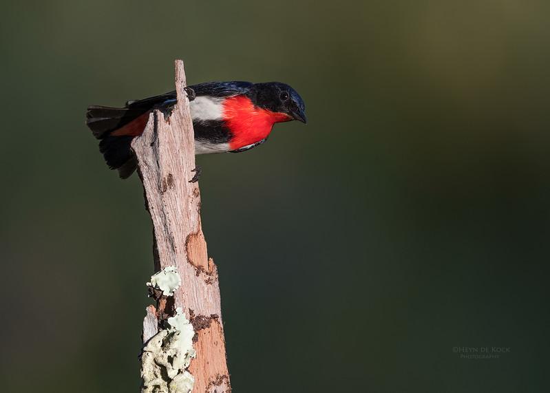 Mistletoebird, Hinterland Regional Park, Gold Coast, QLD, Aus, Sept 2017-2.jpg