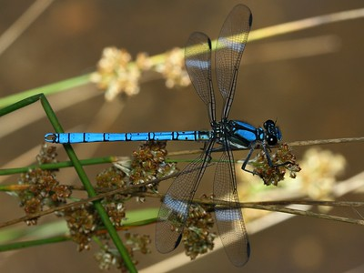 Diphlebidae