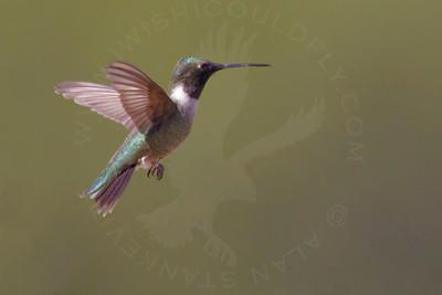 Hummingbird, Black-Chinned