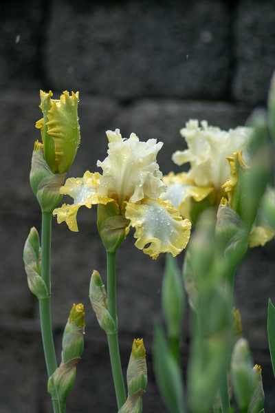 Arboretum Flower Iris-06391.JPG