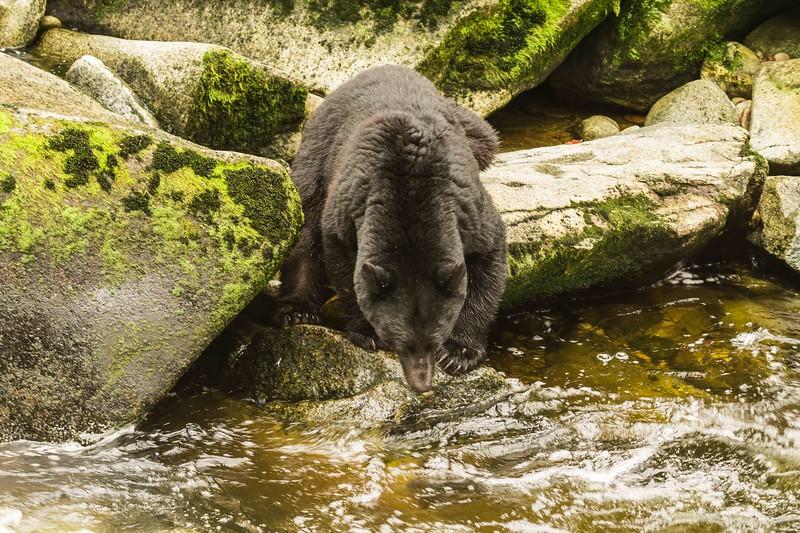 Anan black bear 2.jpg