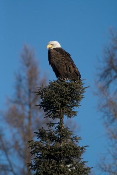 Overwintering eagles often survive on road-killed deer [January; Sax-Zim Bog Minnesota]