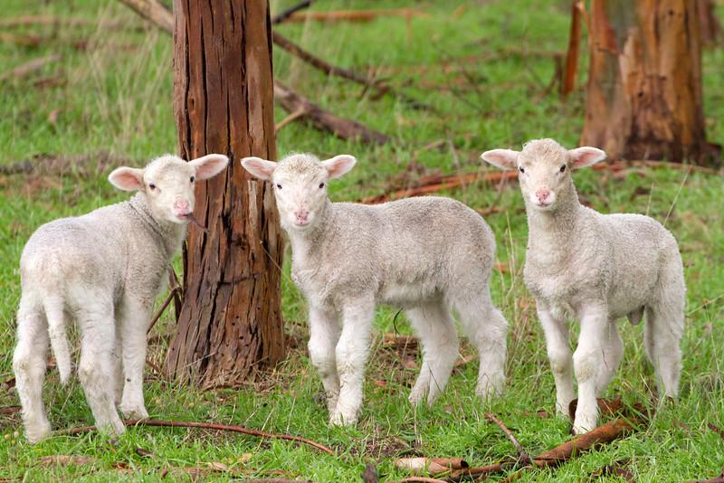 Lambs 4.jpg