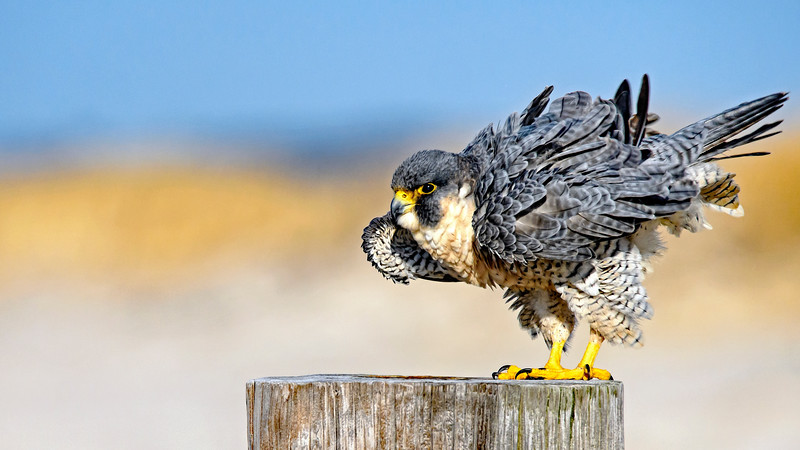 Ruffled Peregrine Wallpaper_DSC_2740.jpg
