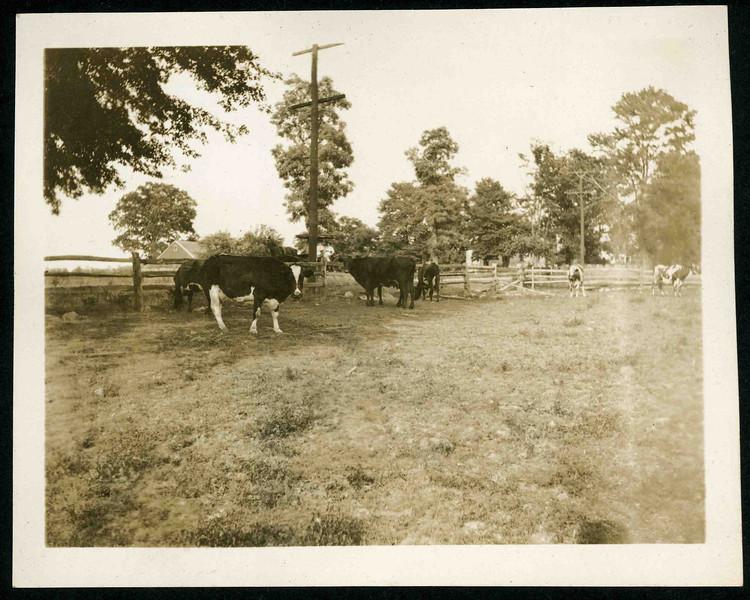 Miller Farm Cows.jpg