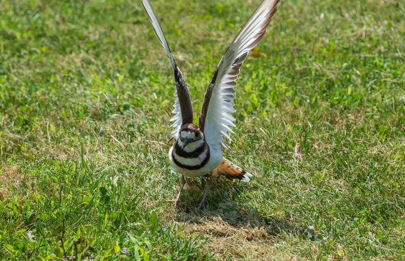 Killdeer-distraction-display-wingsup-springfieldlake.jpg