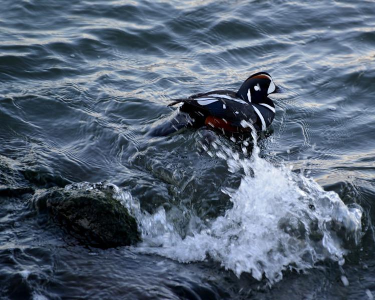 Duck splash.jpg