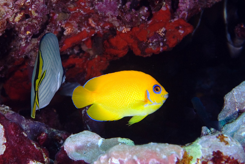 Lemonpeel Angelfish 3.jpg