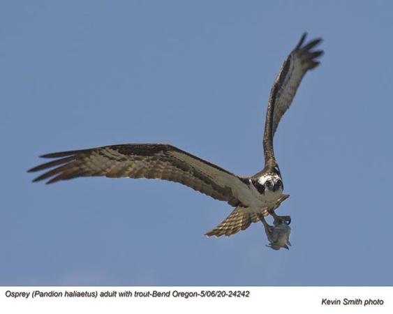 Osprey w-Trout A24242.jpg