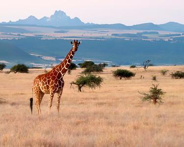 Kenya - Lewa Downs 2013