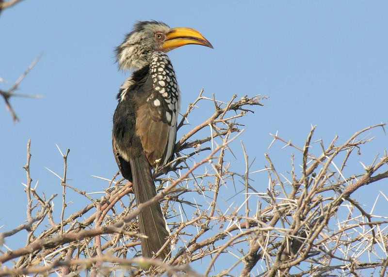 YELLOW BILLED HORNBILL - NAMIBIA