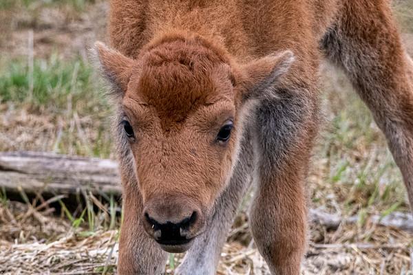 5-4-20 Bison babies