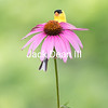 American Goldfinch 6