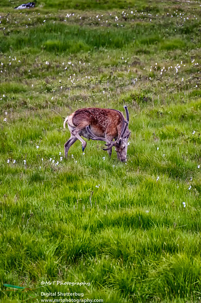 Wild deer Glencoe Central Scotland