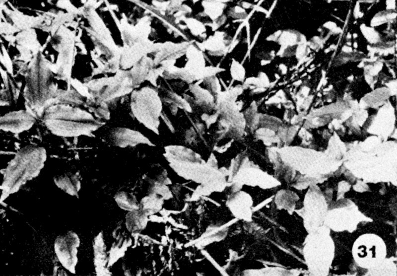 31. Anoectochilus sandvicensis Image from the Kaala Bog Plant Guide: Kaala Natural Area Reserve, Mt. Kaala, Oahu, a 1992 publication of the State of Hawaii (DLNR/DOFAW) .