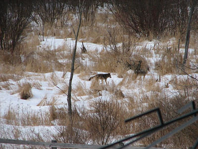 20070307 Coyote & Tracks