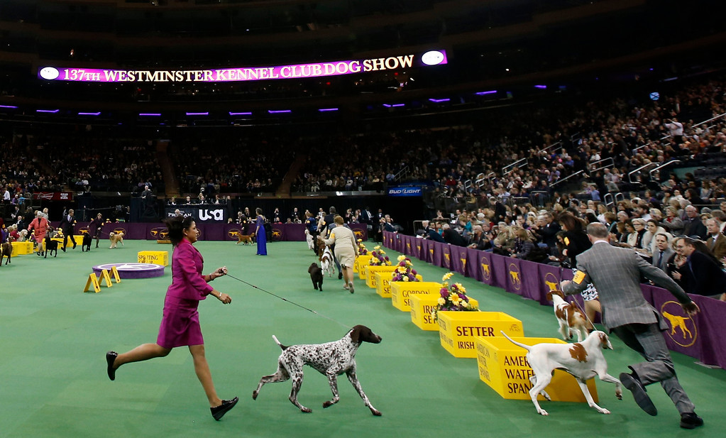 . Dogs in the Sporting Group run with handlers at the 137th Westminster Kennel Club Dog Show at Madison Square Garden in New York, February 12, 2013.  REUTERS/Mike Segar
