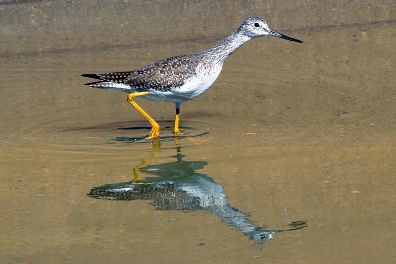 Greater yellow legs in Brays Bayou, Houston