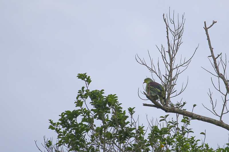 Sri Lanka Green Pigeon (Treron pompadora)