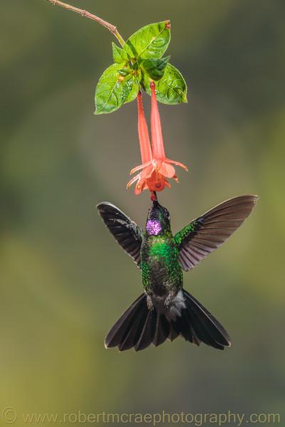 Tourmaline Sunangel at Flower