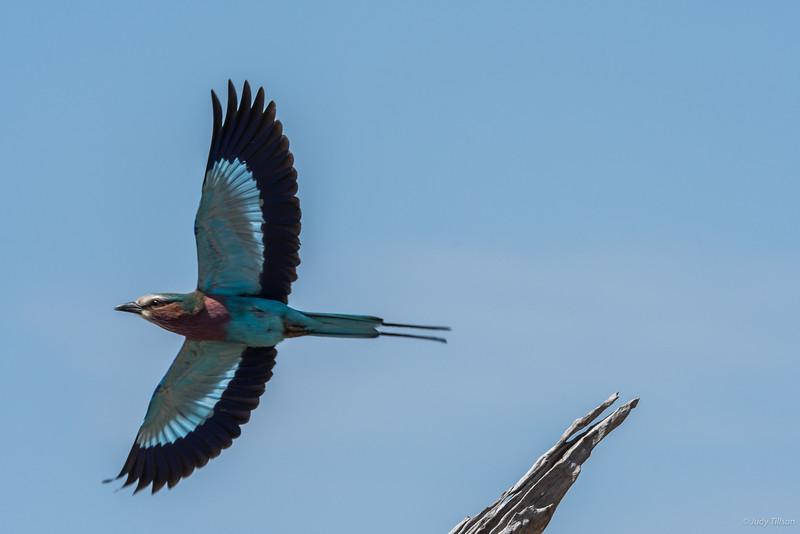 *Serengeti National Park lilac-breasted roller-1336.jpg