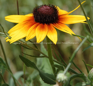 yellowwild flower warren co 26jun06