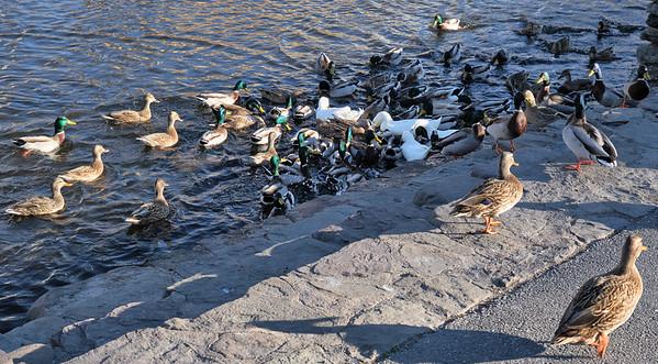 Feeding the Ducks, 12-8-20 (X-T4)
