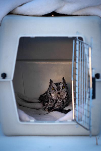 Screech Owl Release