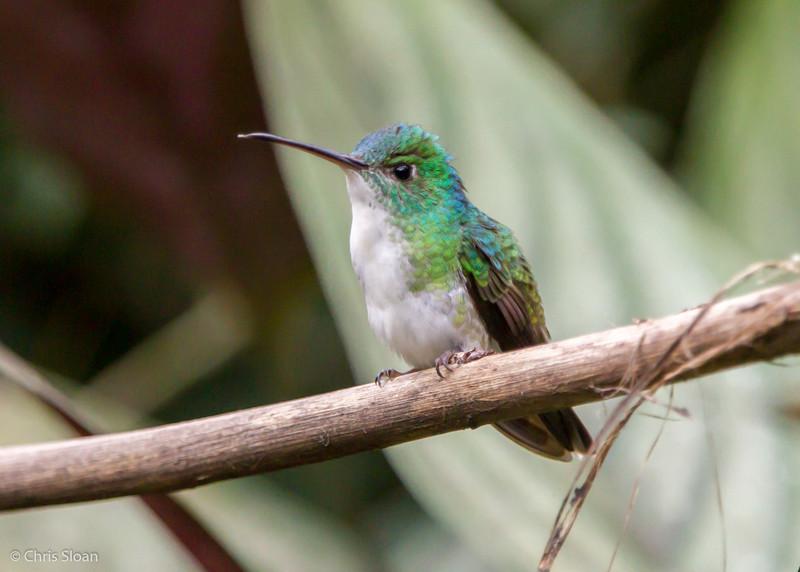 Andean Emerald at Alambi, Ecuador (03-03-2014) 024-42.jpg