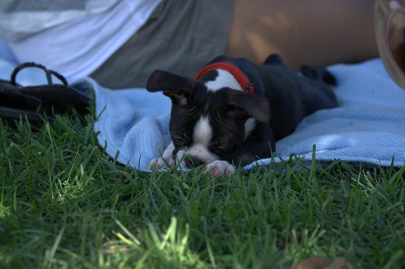 boston terrier oct 2010 084.jpg