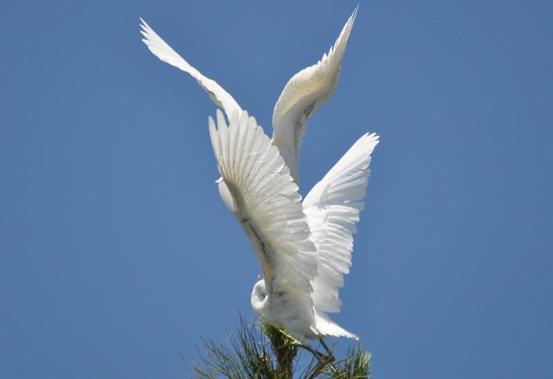 Egret Antics 8.JPG