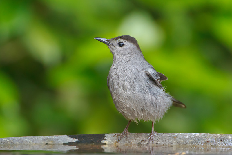 Gray Catbird, Casselberry, FL