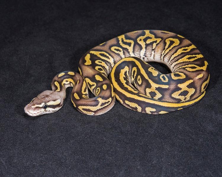 1831_F Leopard Mojave Pastel, $275