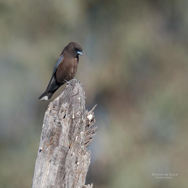Little Woodswallow, Bowra, Cunnamulla, QLD, Aus, Sept 2017-5.jpg