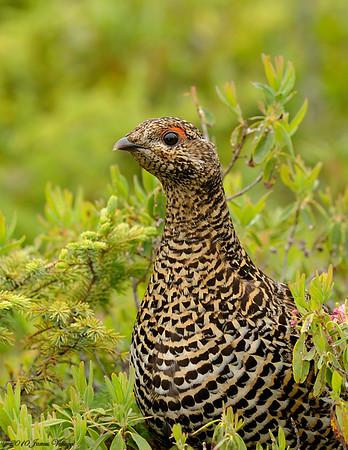 Shorebirds, Grouse