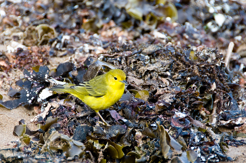 Yellow warbler at Cormorant Point, Floreana Island