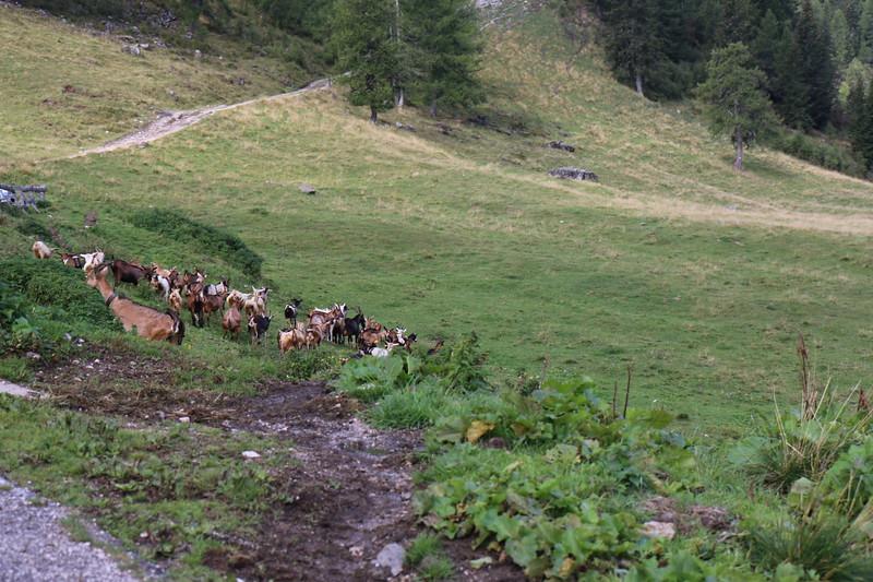 Rifugio Staulanza to Rifugio Tissi  Goats