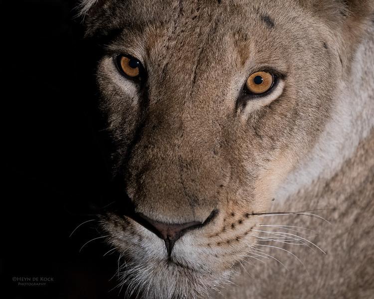 African Lion, Sabi Sands (EP), SA, Oct 2016-22.jpg
