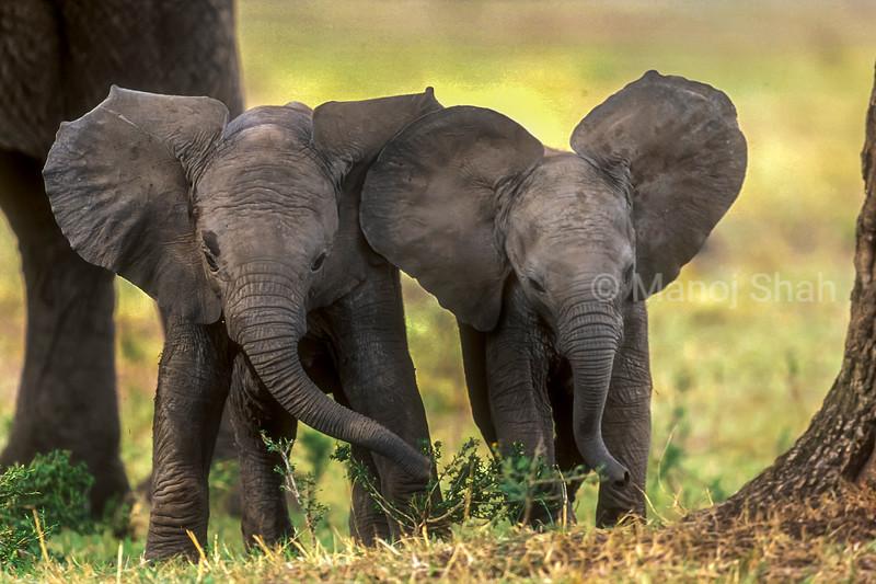 African Elephant Babies
