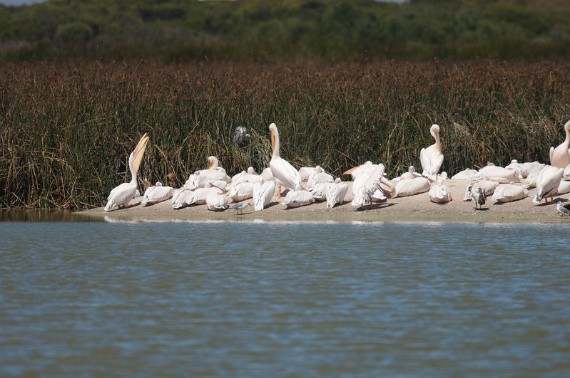 African White Pelican, Rondevlei Nature Reserve, Cape Town