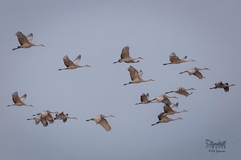 Sandhill cranes, New Mexico 2016