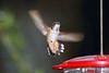 Rufous Hummingbird PSE IMG_4153