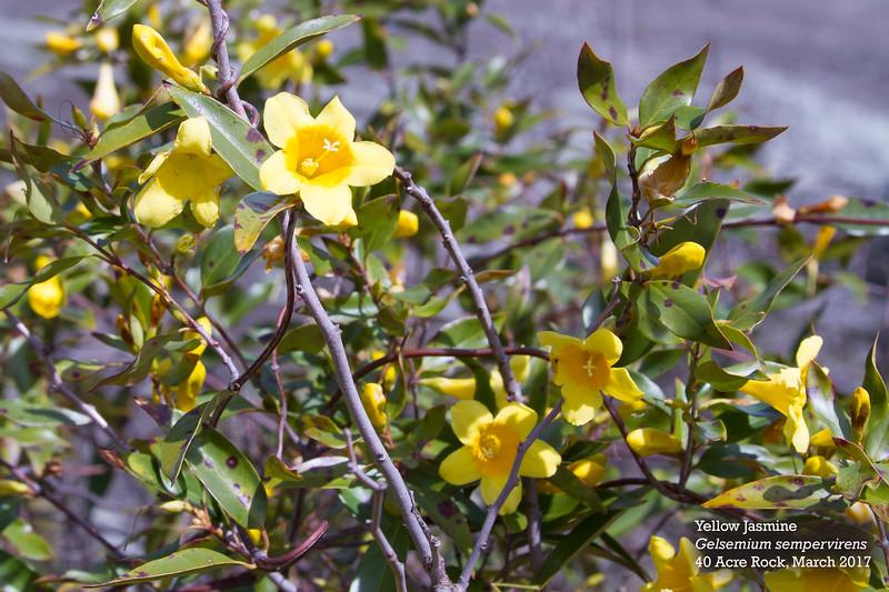 yellow jasmine 2.jpg