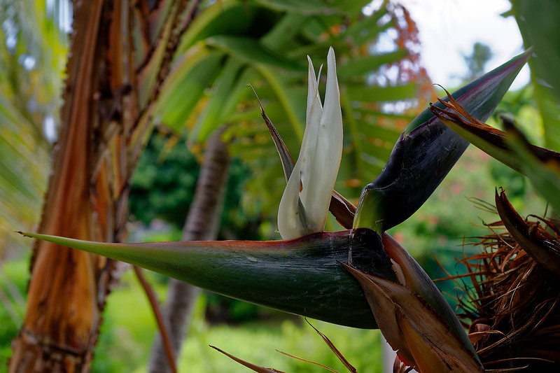 White Bird Of Paradise Bloom