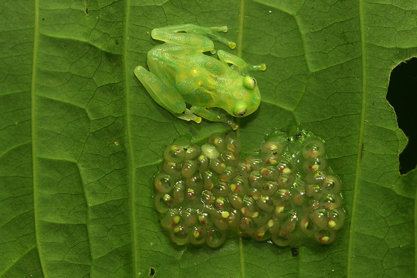 Glass Frogs (Centrolenidae)