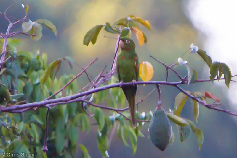 White-eyed Parakeet at Juan Guerra, Tarapoto, Peru (07-03-2010) 558.jpg
